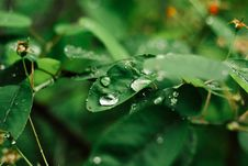 Free Water Drops On Leaves Stock Image - 83020261