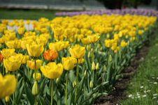 Free Yellow Petal Flower Field Near Green Grass Field Royalty Free Stock Image - 83020306
