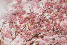 Free Pale Pink Blossoms Stock Photo - 83020320