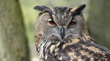 Free Close Up Photography Of Black Grey Owl Royalty Free Stock Photo - 83020365