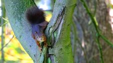 Free Brown Squirrel In Green Tree Trunk Stock Images - 83021024