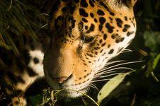 Free Jaguar Close Up Royalty Free Stock Photos - 83021138