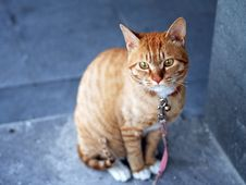 Free Orange Tabby Cat With Pink Leash Stock Images - 83022934