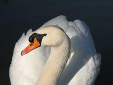 Free White Swan Stock Image - 83022951