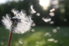 Free Dandelion Blowing In Wind Stock Image - 83023111