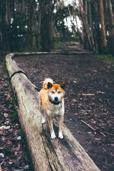 Free Brown And White Short Coated Dog On Brown Wood Tranks Stock Images - 83023654