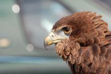 Free Brown Feather Short Beak Bird Stock Photos - 83024003