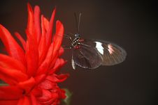 Free Black And White Butterfly On Red Multi Petaled Flower Royalty Free Stock Image - 83024346