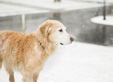 Free Dog Standing In Snow Royalty Free Stock Photos - 83024358