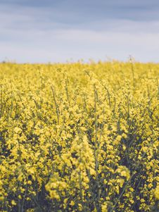 Free Rapeseed Field Stock Photography - 83024832