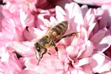 Free Brown And Black Bee On Pink Petaled Flower Stock Images - 83024944