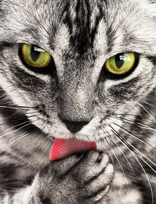 Free Close Up Photography Of White And Black Cat Royalty Free Stock Image - 83025086