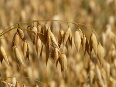 Free Oats Crop Stock Image - 83025681