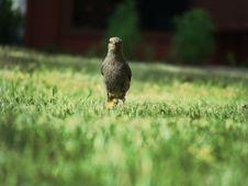 Free Black Bird On Green Grass Royalty Free Stock Photography - 83025747