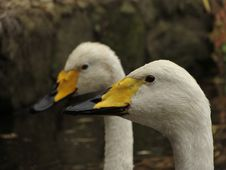 Free 2 White Yellow And Black Ducks Stock Images - 83025754