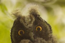 Free Owl Face Outdoors Stock Photos - 83025853