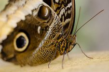 Free Butterfly Close Up Stock Images - 83025864