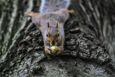 Free Squirrel With Nut Royalty Free Stock Images - 83026369