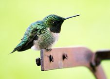Free Hummingbird On Perch Royalty Free Stock Image - 83026386