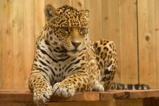 Free Leopard On Wooden Perch Royalty Free Stock Image - 83035506