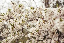 Free Cherry Blossoms In Spring Royalty Free Stock Photography - 83035717