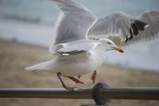 Free Seagull By Beach Royalty Free Stock Photography - 83036317