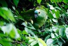 Free Parrot In Leafage Stock Images - 83036344