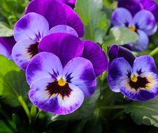 Free Purple 3 Petaled Flower Stock Images - 83036444