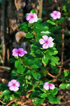 Free Purple Periwinkles In Garden Stock Photography - 83036482