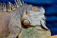 Free Iguana Portrait Royalty Free Stock Photos - 83036488