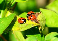 Free Red Ladybug On Green Leaf Royalty Free Stock Images - 83036519
