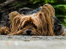Free Yorkshire Terrier Dog Stock Photography - 83036742