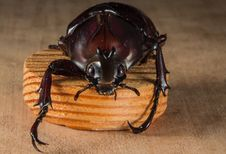 Free Brown Beetle Stock Photography - 83036762