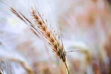 Free Ripe Wheat In Field Royalty Free Stock Photo - 83037235