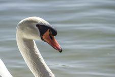 Free White Swan Stock Image - 83037271