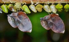 Free Row Of Butterfly Cocoons Royalty Free Stock Photo - 83037275