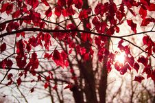 Free Tree With Crimson Autumn Leaves Royalty Free Stock Photos - 83037278