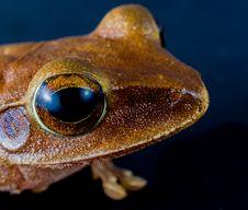 Free Macro Shot Of Brown Frog Royalty Free Stock Photos - 83037318