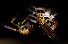 Free Close Up Wasp Portrait Royalty Free Stock Images - 83037579