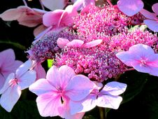 Free Pink Blossoms Stock Photography - 83037692