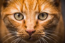 Free Portrait Of Domestic Cat Royalty Free Stock Photo - 83037735
