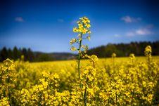 Free Yellow Canola Flowers Stock Photography - 83037792