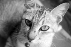 Free Portrait Of Cat In Black And White Royalty Free Stock Photography - 83037817