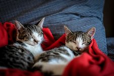 Free Black And White Tabby Cat Sleeping On Red Textile Royalty Free Stock Photos - 83037828