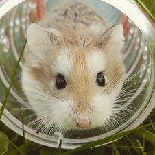 Free Tan White Guinea Pig Inside White Glass Jar Stock Images - 83037864