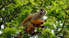 Free Squirrel Monkey In Branches Of Tree Royalty Free Stock Image - 83037866