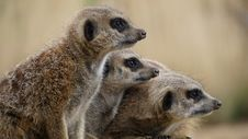 Free Family Of Meerkats Stock Images - 83037884