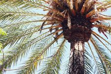 Free Palm Tree Against Blue Skies Royalty Free Stock Image - 83037946