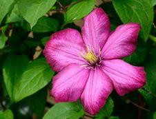 Free Pink 6 Petaled Flower In Bloom Royalty Free Stock Image - 83038016