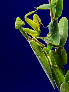 Free Green Praying Mantis On Green Leaf Stock Photos - 83038143